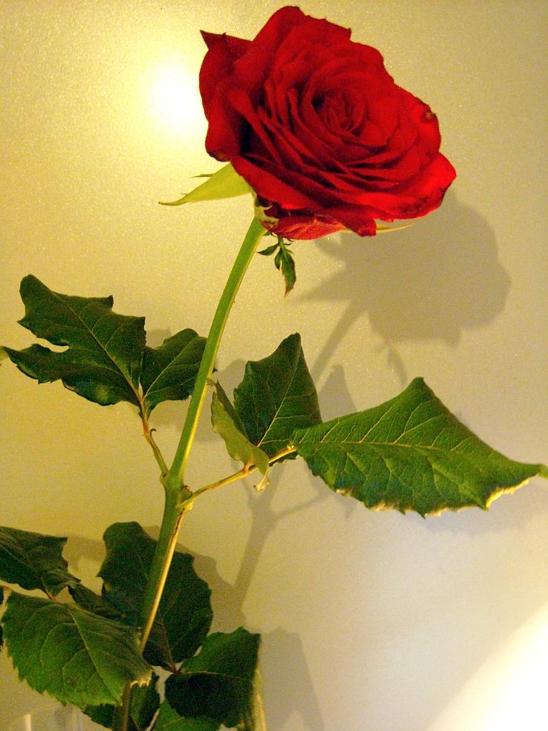 Rote >> Fotos Botanik • Rosen